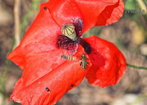 vernelle,coquelicot,fleur