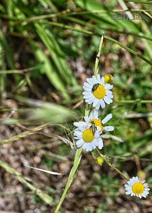 vernelle,insecte,fleur