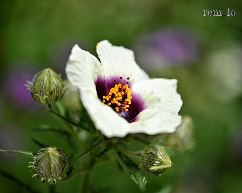 bagatelle,fleur,jardin