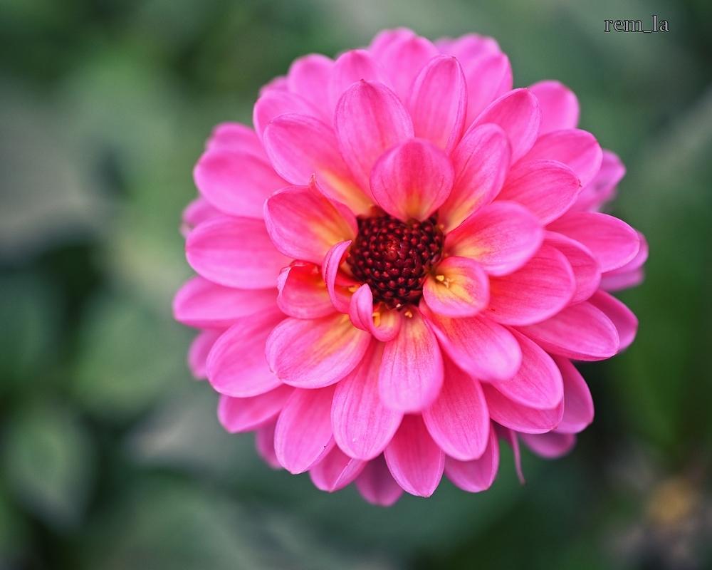 dalhia,vincennes,parc,fleur