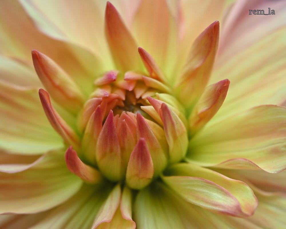 Les dalhias du parc floral de Vincennes