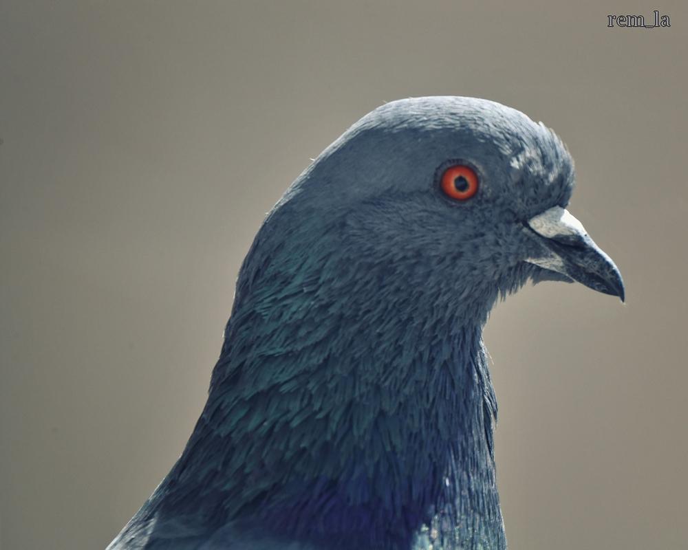 pigeon,balcon