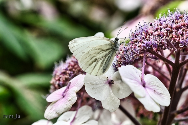 papillon,parc,floral,hortensia,