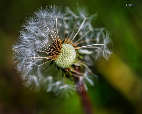 pissenlit,fleur,nature