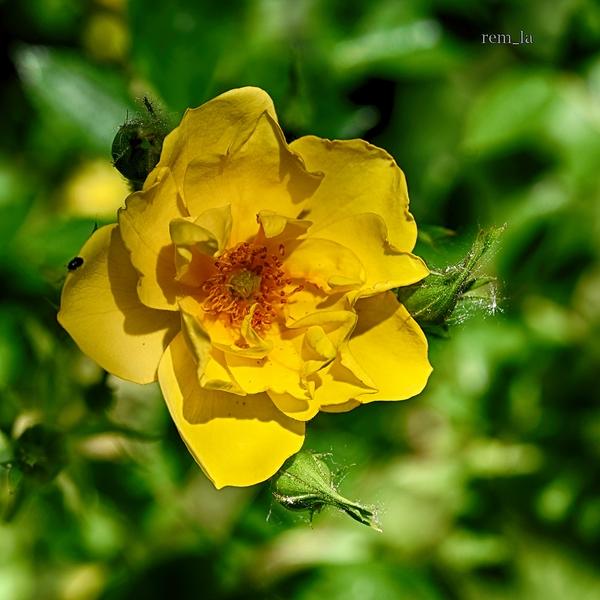 provins,rose,fleur