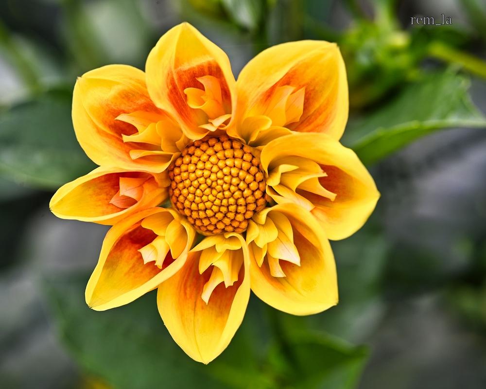 dahlia,parc,floral,vincennes,fleur