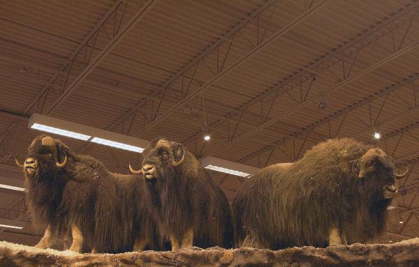 Indoor Yaks