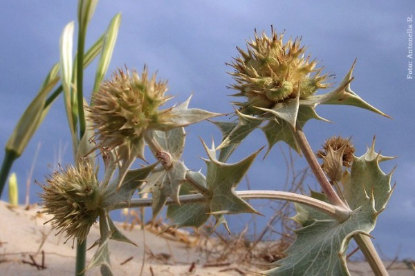 Cardo Marino (Sea holly - Eryngium maritimum)