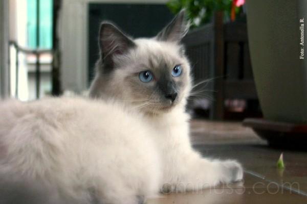cat cats Randal ragdoll