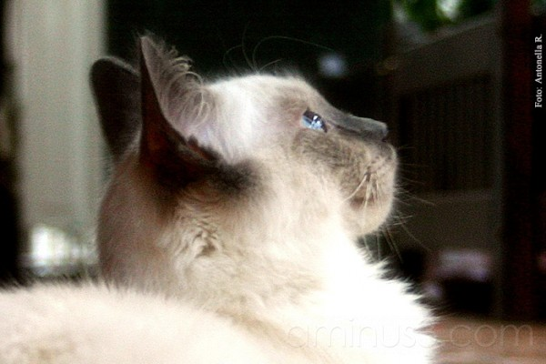 cat cats Randal ragdoll