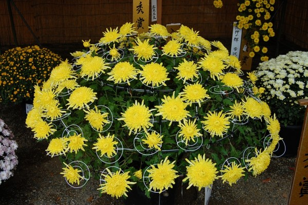 Chrysanthemum exhibition.