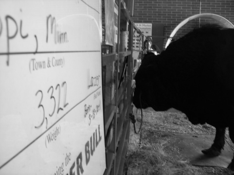 Iowa's Biggest Bull