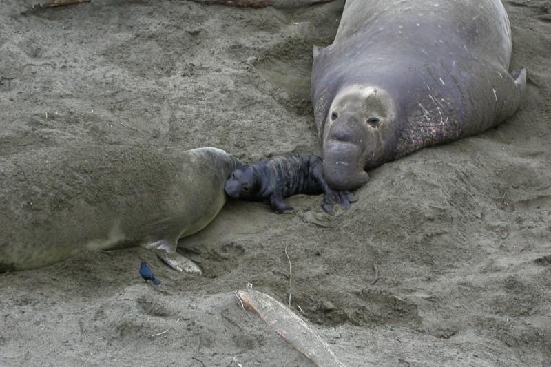 Elephant seals giving birth in Cambria California