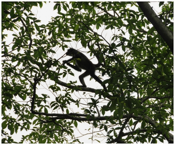 Spider monkey , Yaxhá National Park Guatemala
