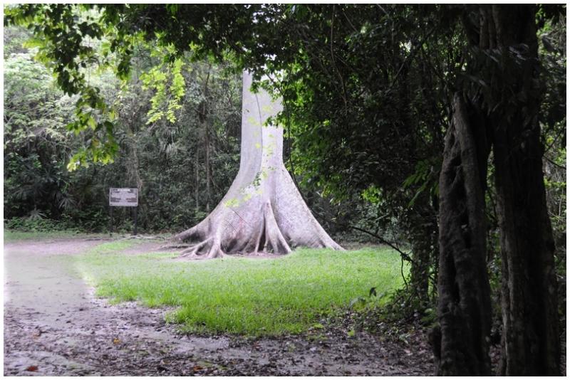 Ceiba Tree, Guatemala's National Tree