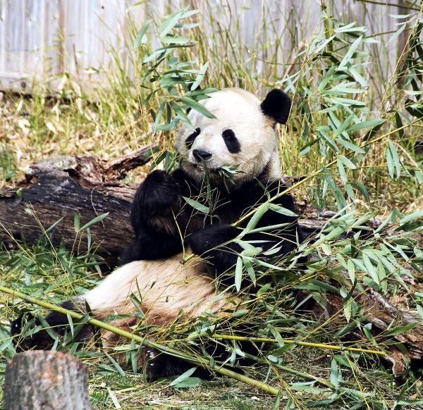 Giant Panda Washington DC Zoo