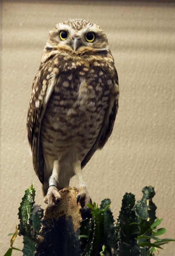 Owl National Zoo Washington DC