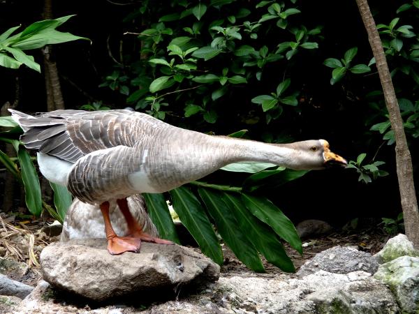Guatemalan Goose