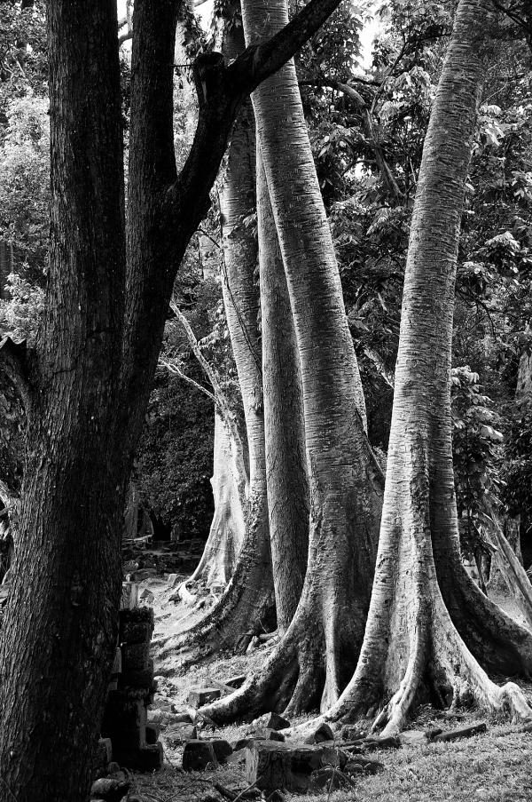 Angkor Thom Silk Cotton Trees