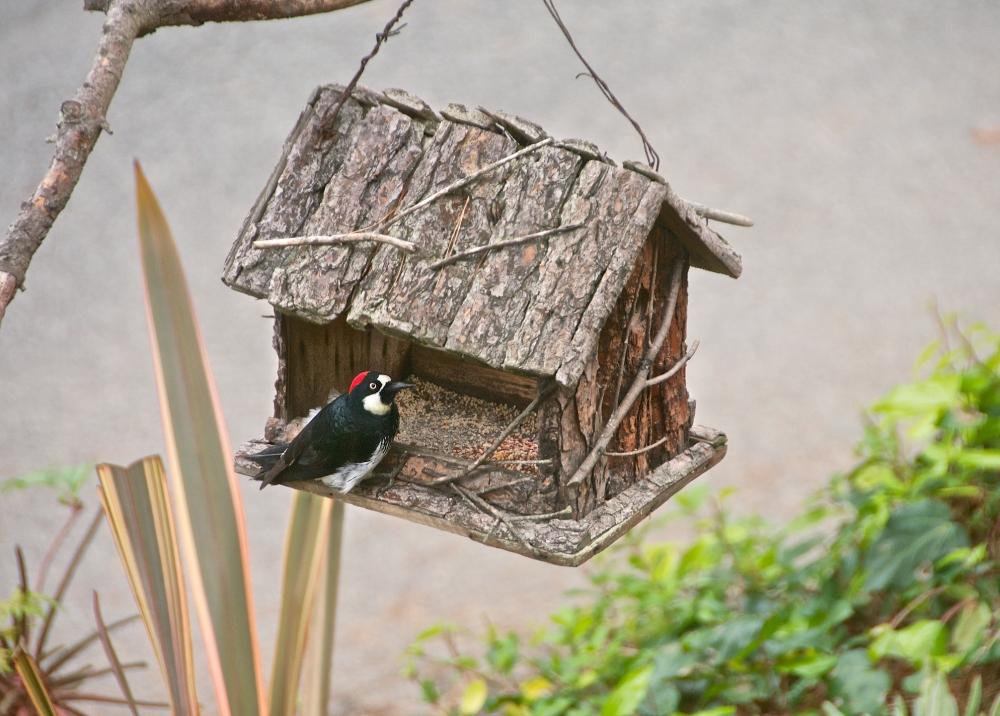 Wood Pecker feeding