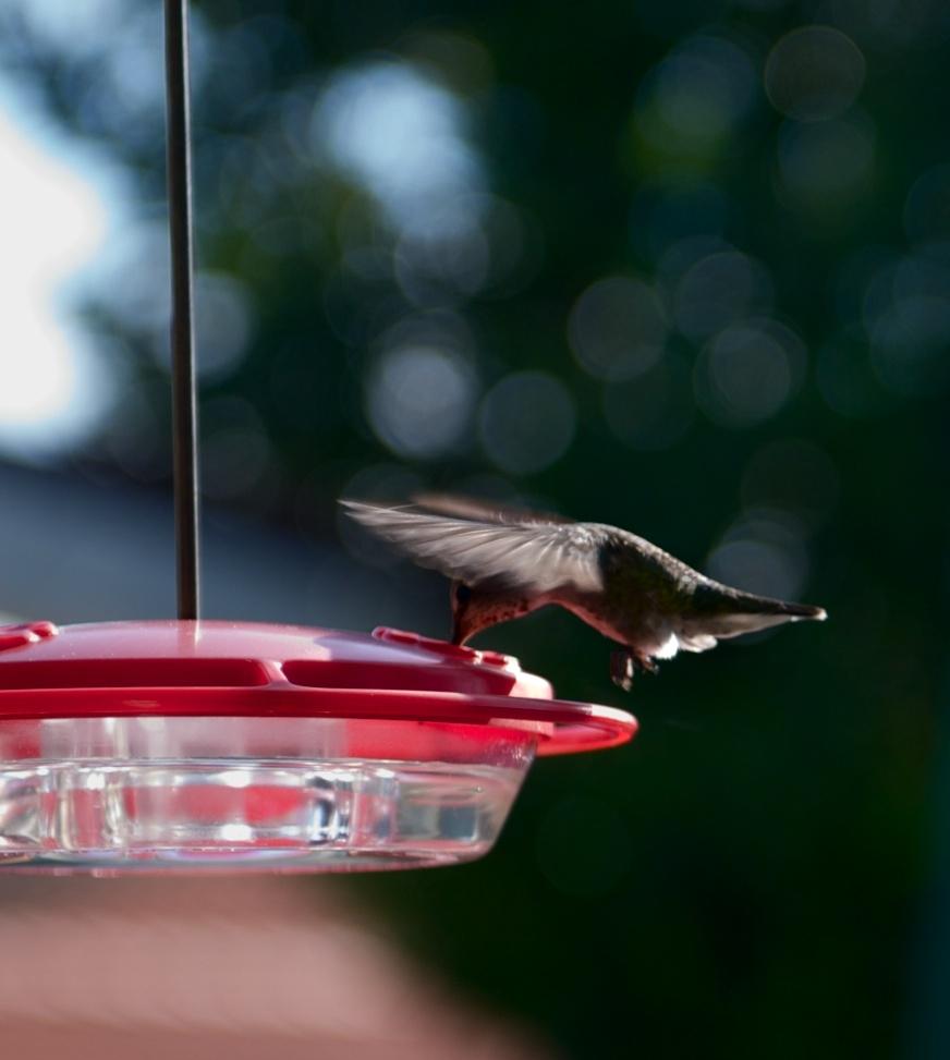 Hummingbird in the air