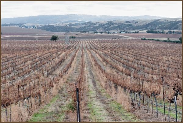 Livermore Vineyards Winter
