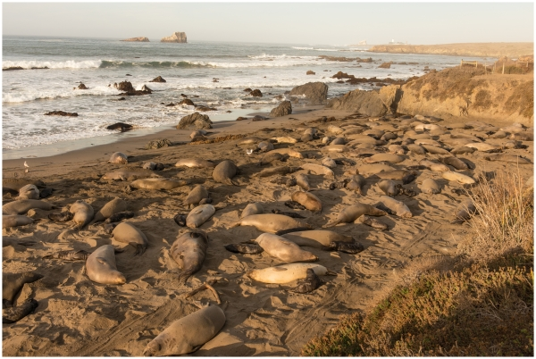 Elephant Seals Nursing