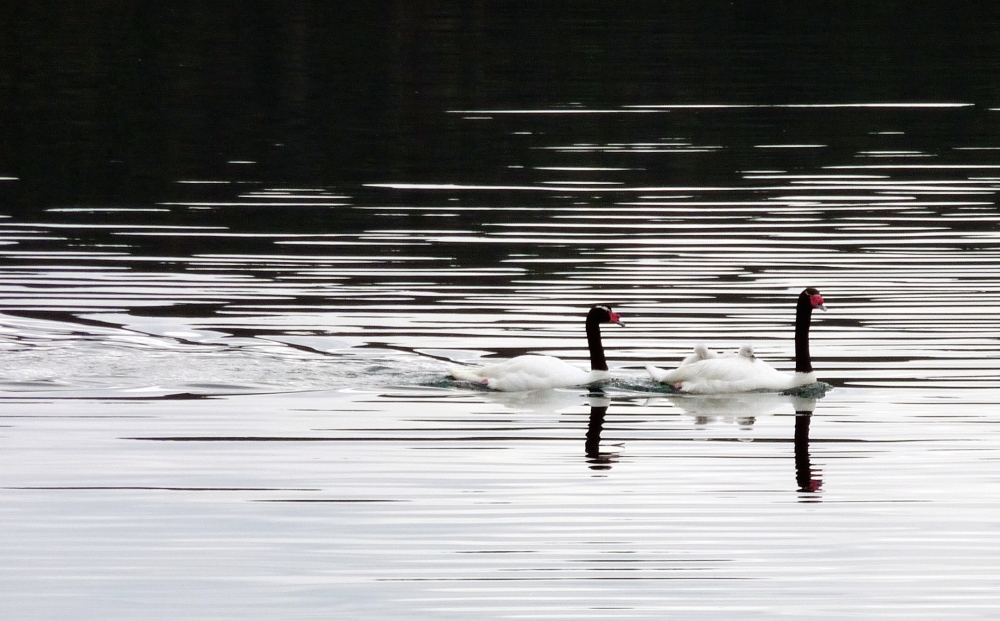 Black-necked Swans couple and swanglins