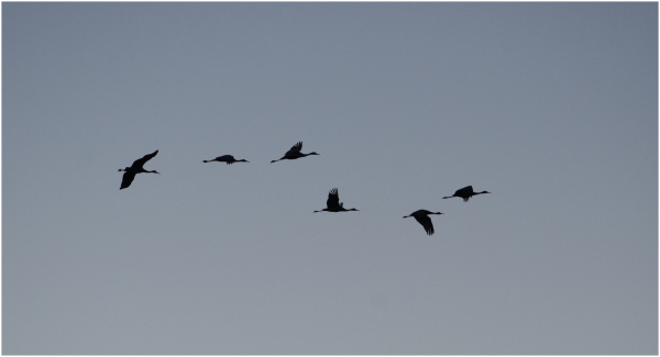 Cranes inflight Cosumnes Reservation CA Delta