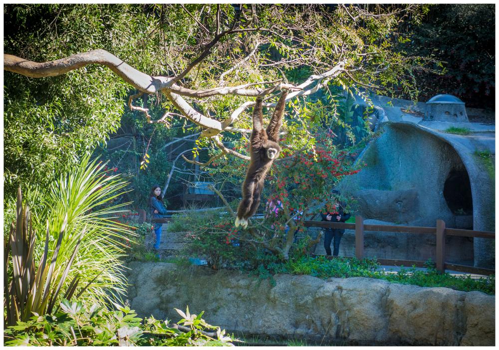 Baboon Okland Zoo