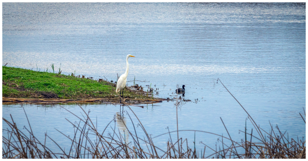White Crane and a Coot