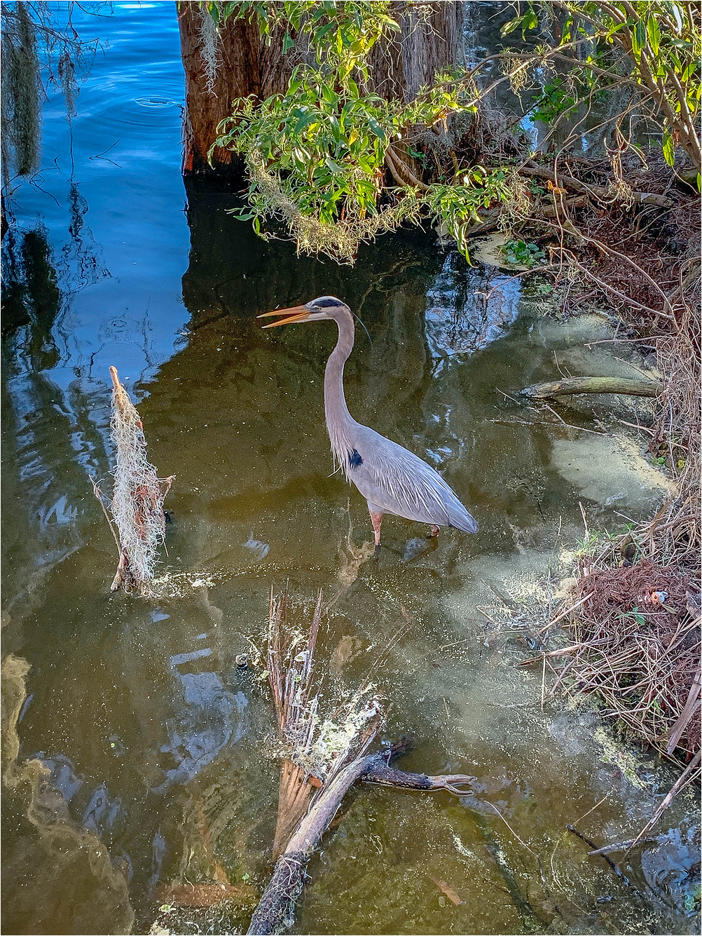 Great Blue Heron Florida Lakeland