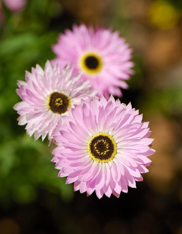wildflower, Kings Park, Western Australia