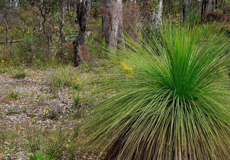 Grass Tree, Collie,Western Australia