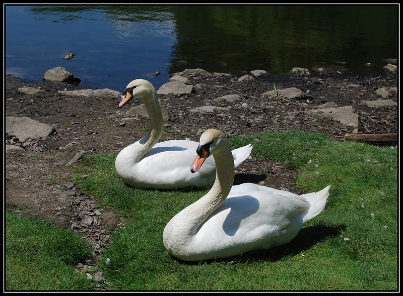 swans sunbathing