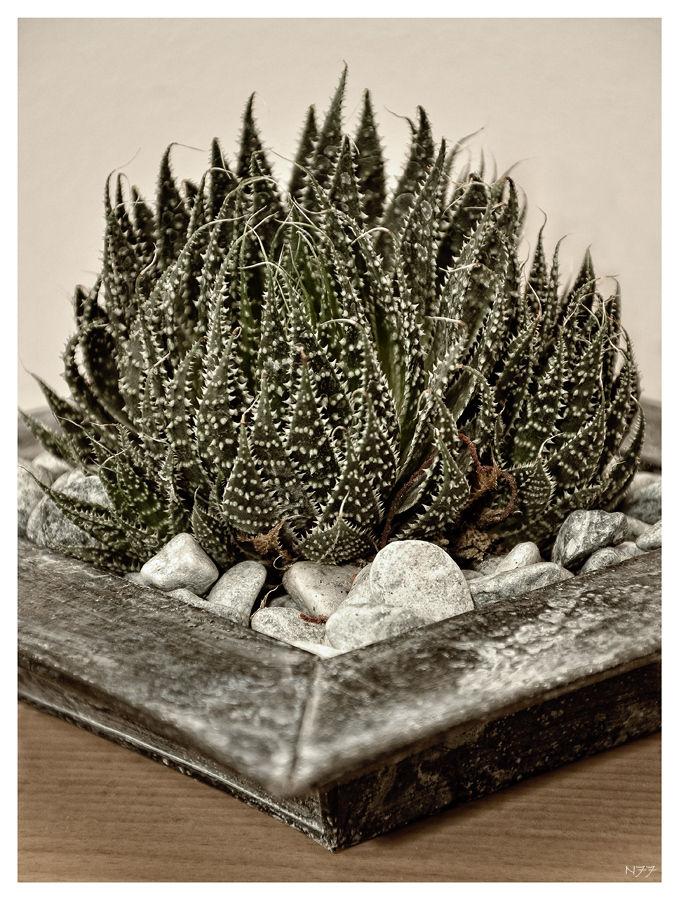 ~*~ cactus ~*~