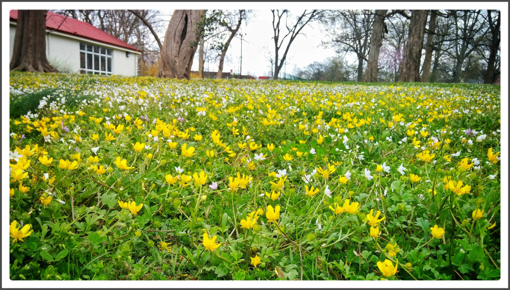 Buttercups in bloom
