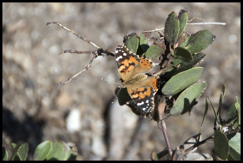 Butterfly on a Bush