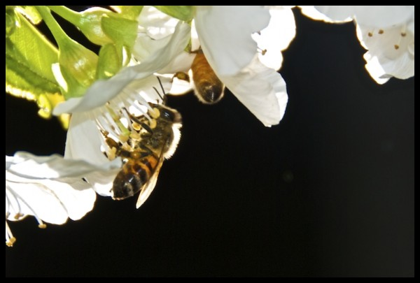 Bees Livin' it up in the Cherry Tree
