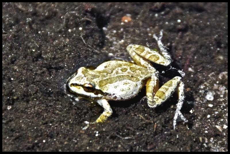 Frog Chillin' in Shallow Water