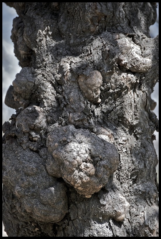 The Trunk of a Diseased Tree