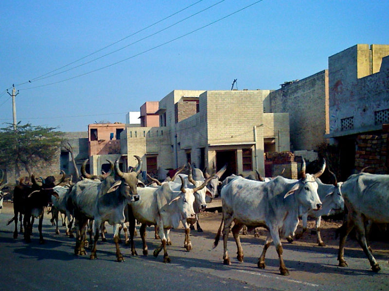 Cows Crossing the Road - Bathinda India