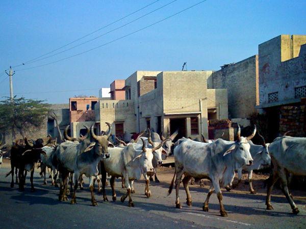 Cows Crossing the Road - Bathinda India