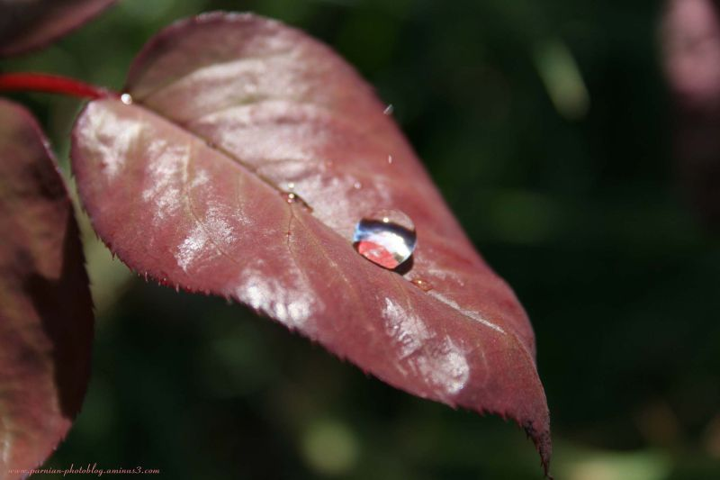 Water Drop on the Leave!