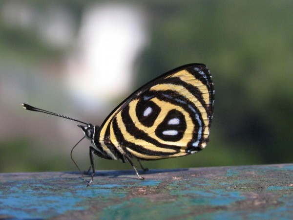 Long Tongue Butterfly