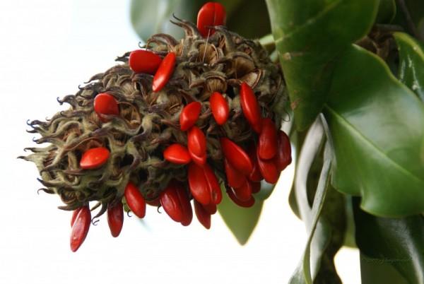 Magnolia seeds...