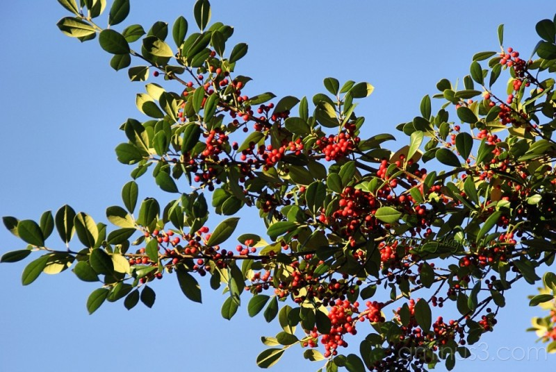 Have a Holly Berry...