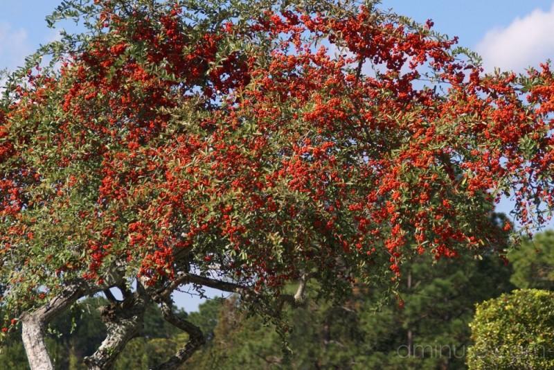 Pyracantha or Firethorn