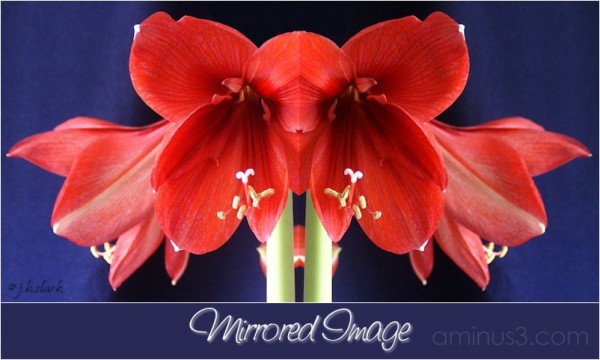 Amaryllis Mirrored