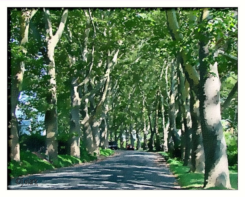 Buttonwood Trees